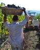 nl harvestgal St. Francis Winery Update