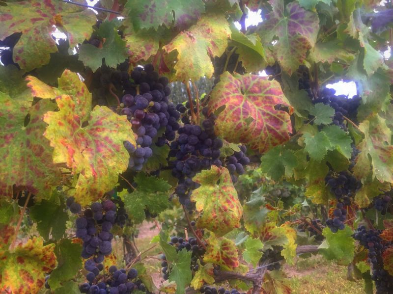 October 12th: Harvest Vineyard Tour & Tasting @ 1pm